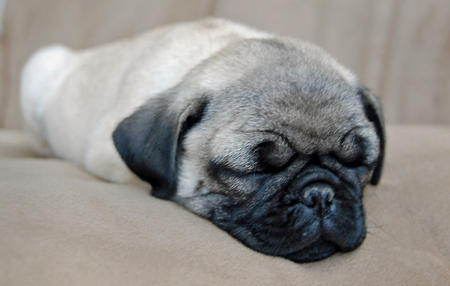 Mugsey the Pug Pictures 237970