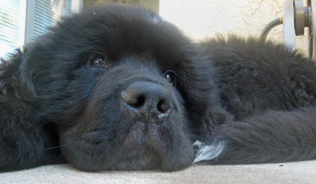 Sebastian the Newfoundland Pictures 275206