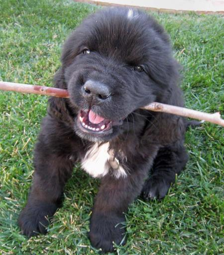 Sebastian the Newfoundland Pictures 275201