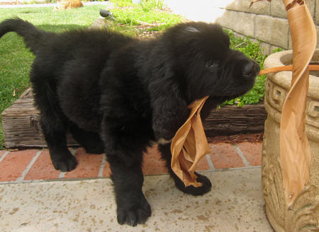 Sebastian the Newfoundland Pictures 275203