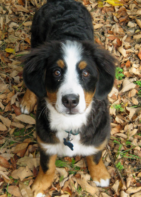 Charlie the Bernese Mountain Dog Pictures 254398