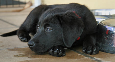 Neo the Labrador Retriever Pictures 249551