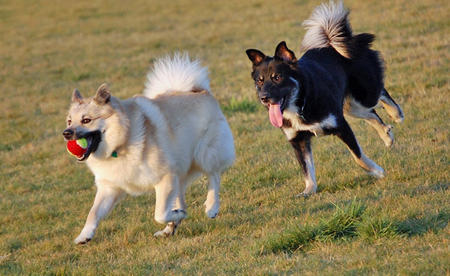Shiloh the Icelandic Sheepdog Pictures 240337