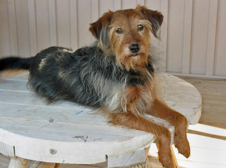 Mort the Yorkie Mix Pictures 300229