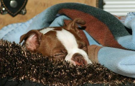 Ben the Boston Terrier Pictures 253429