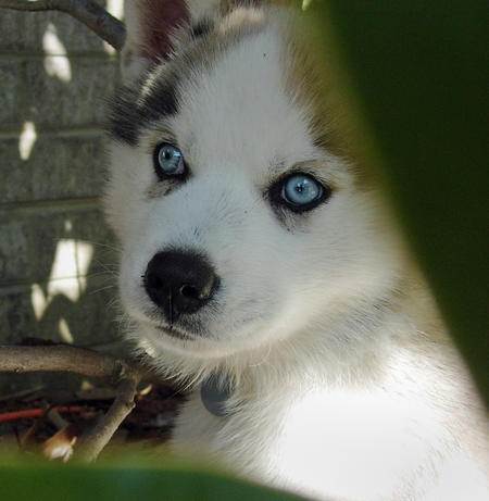 Booker the Siberian Husky Pictures 272903