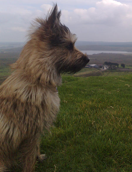 Alfie the Cairn Terrier Pictures 246675