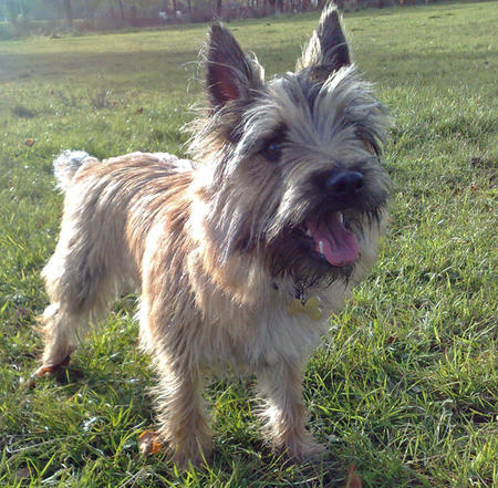 Alfie the Cairn Terrier Pictures 246676