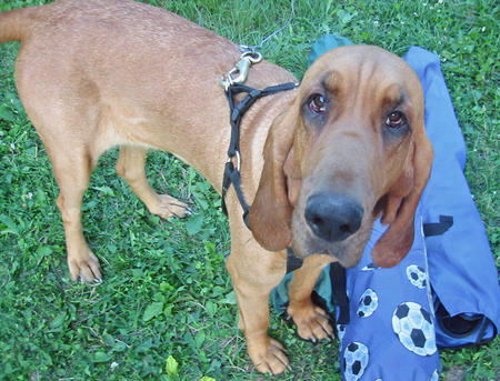 Bacon the Bloodhound  Pictures 250090