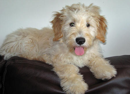 Noah the Goldendoodle Pictures 326866