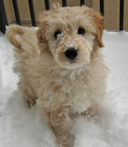 Noah the Goldendoodle Pictures 326864