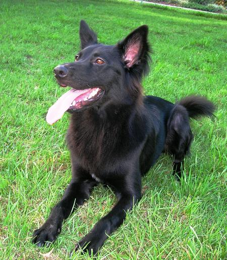 Kohlee the Belgian Shepherd Pictures 15690