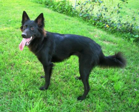 Kohlee the Belgian Shepherd Pictures 15681