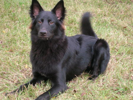 Kohlee the Belgian Shepherd Pictures 15679