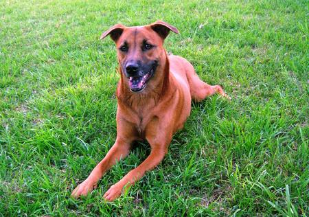 Piper the Belgian Malinois / Rhodesian Ridgeback Mix Pictures 15675