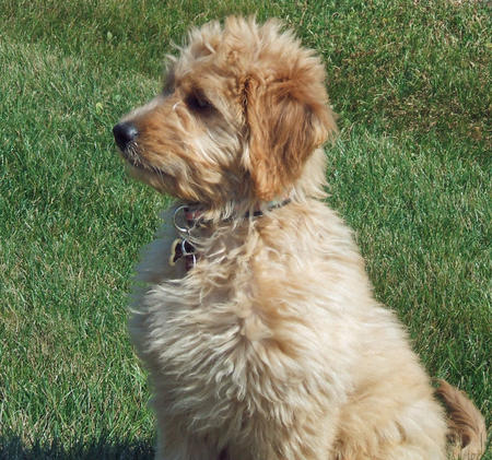 Jennings the Goldendoodle Pictures 81265