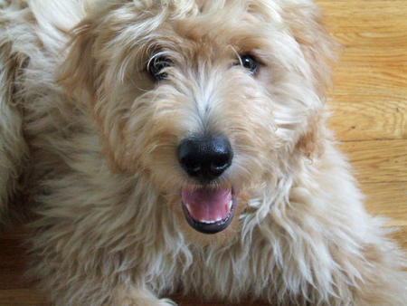 Jennings the Goldendoodle Pictures 81268