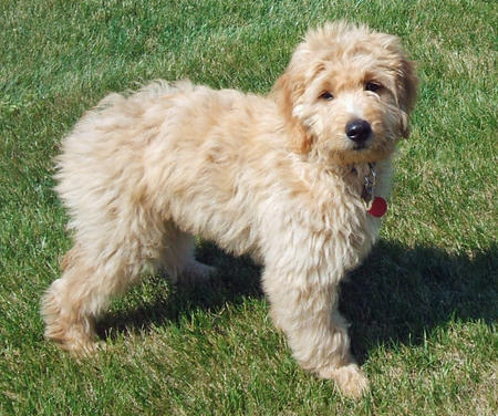 Jennings the Goldendoodle Pictures 81264