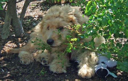Jennings the Goldendoodle Pictures 81263
