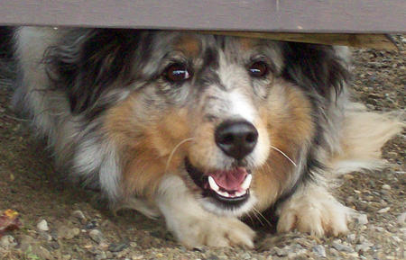 Bella the Shetland Sheepdog Pictures 318851