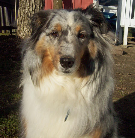Bella the Shetland Sheepdog Pictures 318850
