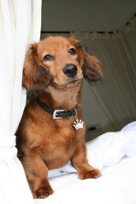 Gijsje the Longhaired Daschund Pictures 15885