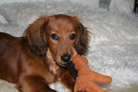 Gijsje the Longhaired Daschund Pictures 15889