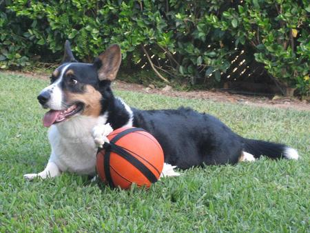 Griffey the Cardigan Welsh Corgi Pictures 15876