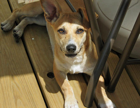 Lady the Dachshund Mix Pictures 341693