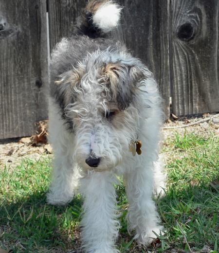 Quincy the Wire Fox Terrier Pictures 255755