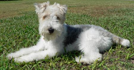 Quincy the Wire Fox Terrier Pictures 255758