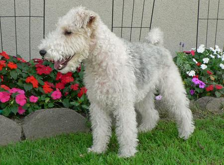 Quincy the Wire Fox Terrier Pictures 255760