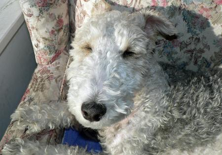 Quincy the Wire Fox Terrier Pictures 255761
