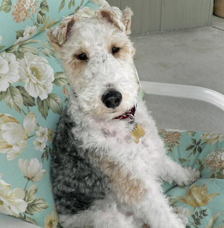 Quincy the Wire Fox Terrier Pictures 255762