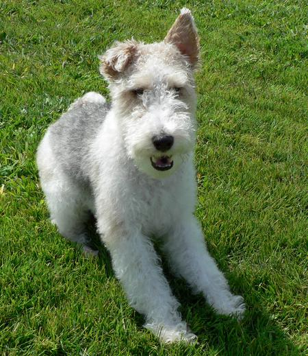 Quincy the Wire Fox Terrier Pictures 255756
