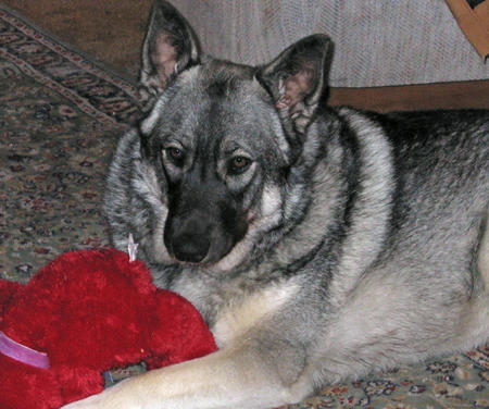 Bella the Norwegian Elkhound Pictures 257936