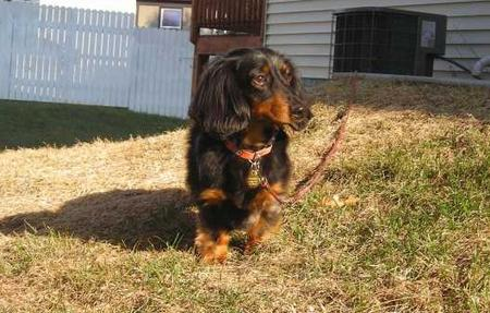 Bocephus the Miniature Dachshund Pictures 22674