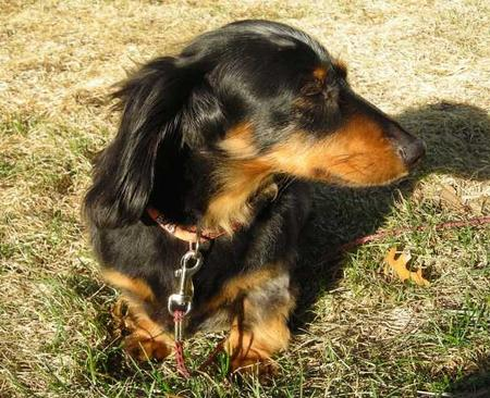 Bocephus the Miniature Dachshund Pictures 22673
