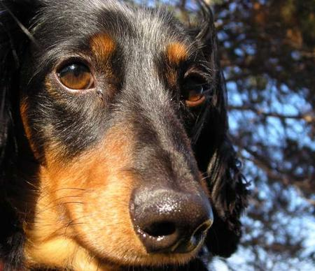 Bocephus the Miniature Dachshund Pictures 22672
