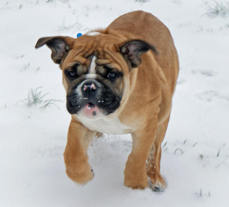 Chaz the English Bulldog Pictures 258186