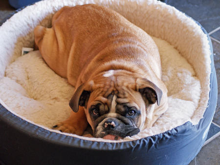 Chaz the English Bulldog Pictures 258185