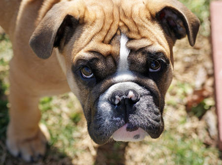 Chaz the English Bulldog Pictures 258183