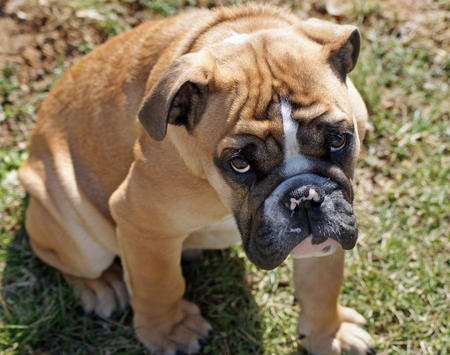 Chaz the English Bulldog Pictures 258181