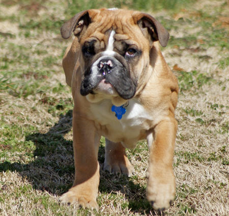 Chaz the English Bulldog Pictures 258178