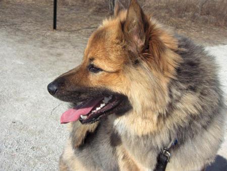Rocko the Keeshond / Shetland Sheepdog Mix | Puppies ...
