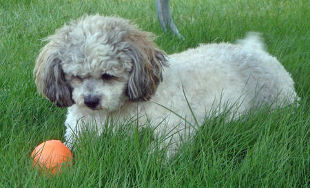 Tessa the Bichon Frise Mix Pictures 308657