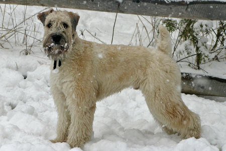 Sam the Wheaten Terrier Pictures 264079