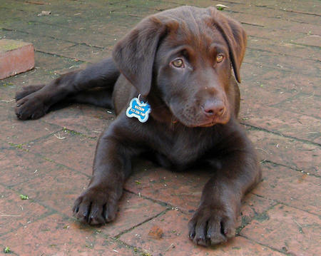 Watson the Labrador Retriever Pictures 263762