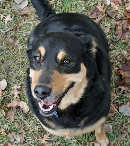 Diamond the Rottweiler Mix Pictures 265165