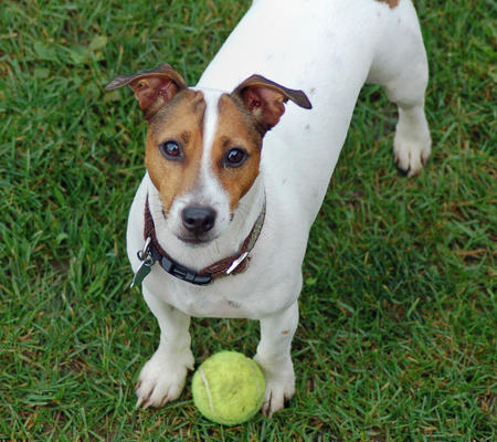 Jack Jack the Jack Russell Terrier Pictures 266458